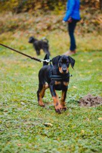 hundpunkt_hundeschule_muenster-blogbeitrag-geschirr-norweger