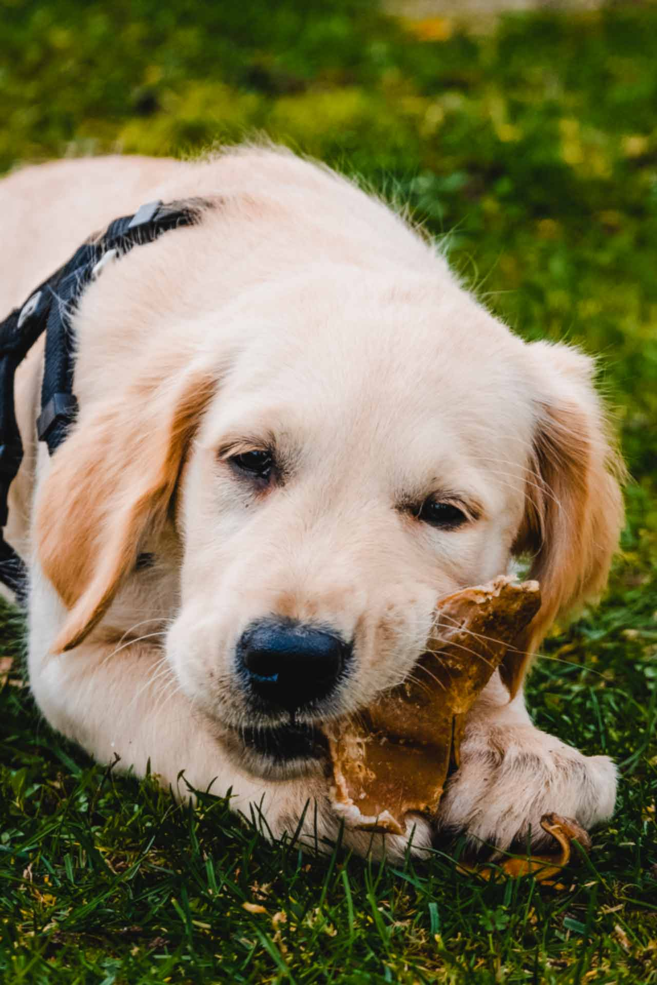 hundpunkt_hundeschule_muenster-ibbenbueren-welpen-knochen